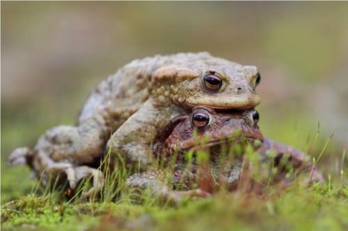 Жаба-ага или «тростниковая жаба» (лат. Bufo marinus) (англ. Cane Toad)