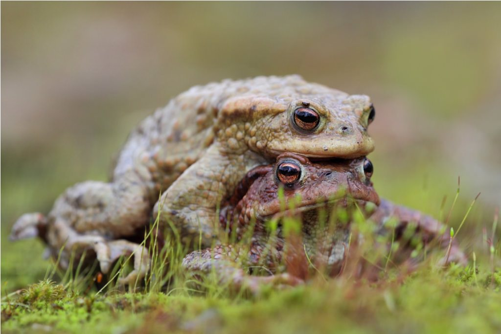 Жаба-ага или «тростниковая жаба» (лат. Bufo marinus)
