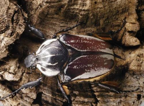 Жук-голиаф (лат. Goliathus) (англ. Goliath beetle)