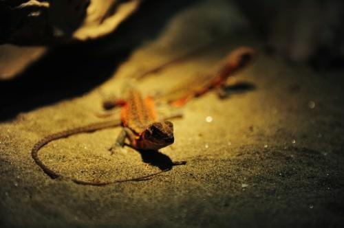Агама-бабочка обыкновенная (лат. Leiolepis belliana) (англ. Butterfly Lizards)