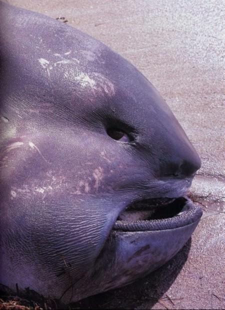 Большеротая акула (лат. Megachasma pelagios) (англ. Megamouth shark)