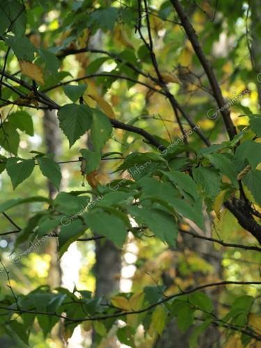 Береза Шмидта или «железная» береза (лат. Betula schmidtii) (англ. Schmidt's Birch)