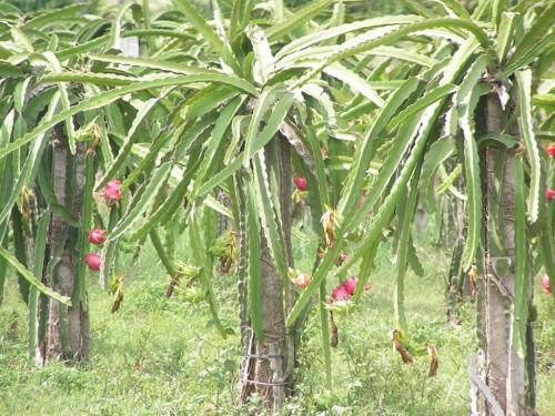 Питайя или «драконий фрукт» (лат. Hylocereus undatus) (англ. Dragon fruit)