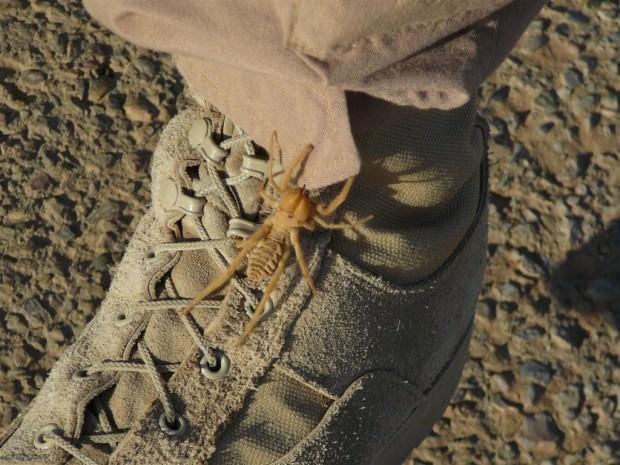 Фаланги или сольпуги (лат. Solifugae) (англ. Сamel spider, Wind scorpion)