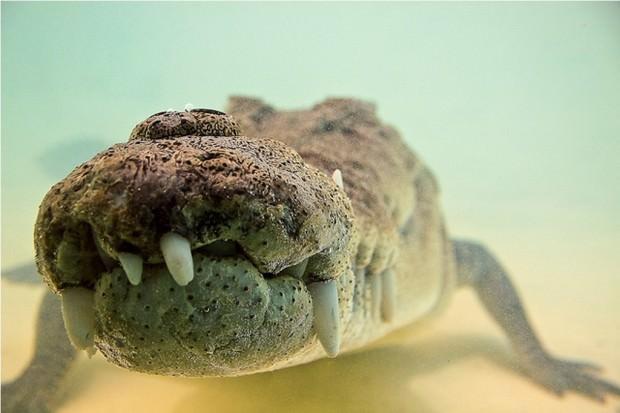 Гребнистый крокодил или морской крокодил (лат. Crocodylus porosus ) (англ. Saltwater crocodile, Australian Salt Water Crocodile)