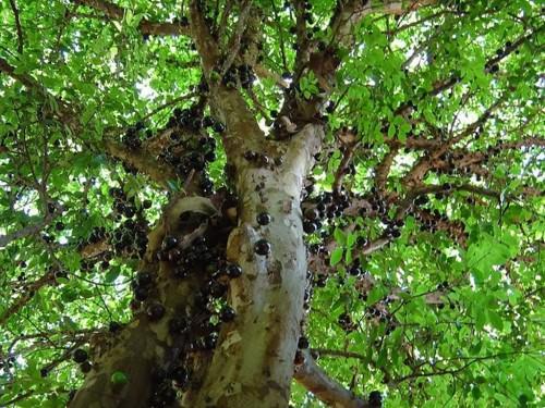 Джаботикаба или бразильское виноградное дерево (лат. Myrciaria caulifloria) (англ. Brazilian Grape Tree, Jabotica, Guaperu)