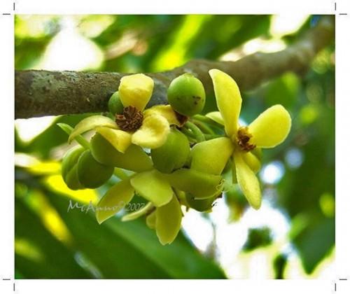 Дерево кепел (кеппел) (лат. Stelechocarpus burakol)  (англ. Kepel, Burahol)