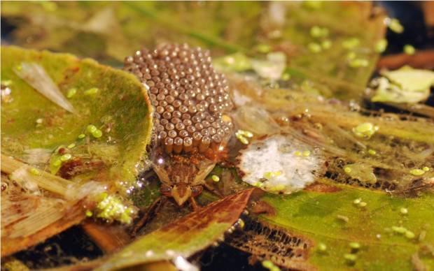Гигантские водяные клопы (лат. Belostomatidae) (англ. Giant Water Bug)