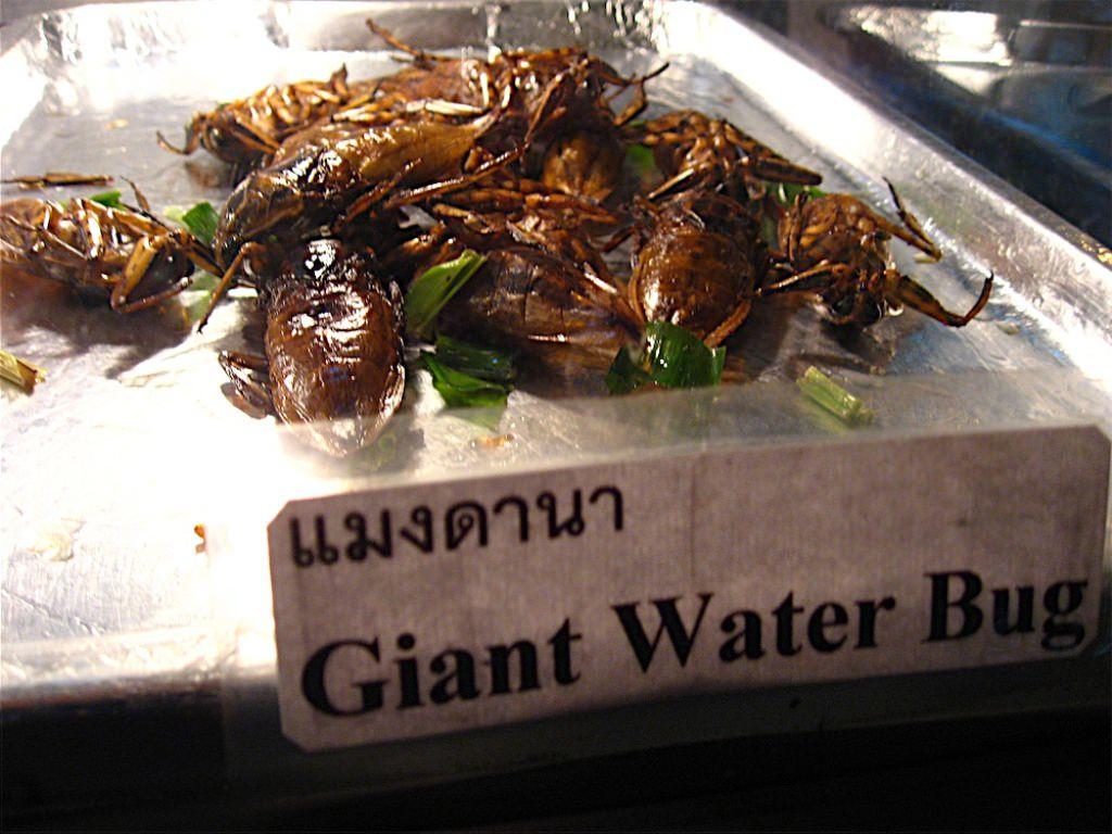 Giant water bug eggs