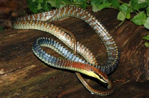 Бронзовоспинная змея Копштейна (лат. Dendrelaphis kopsteini) (англ. Kopstein's bronzeback snake)