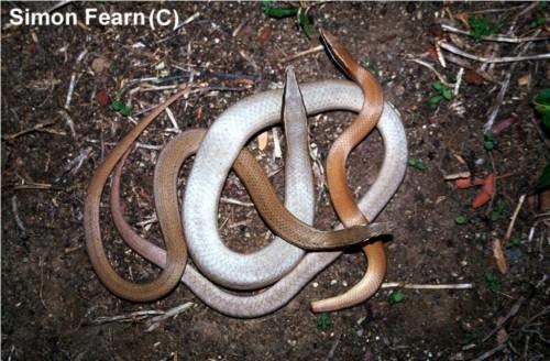 Лиалис Бартона (лат. Lialis burtonis) (англ. Burton's legless lizard)