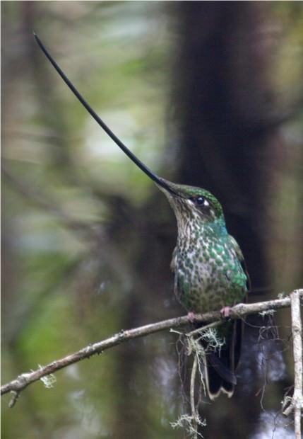 Мечеклювый колибри (лат. Ensifera ensifera) (англ. Sword-billed Hummingbird)