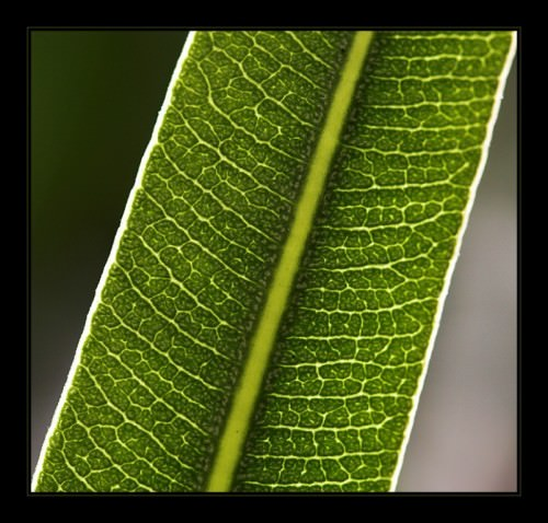 Олеандр обыкновенный (лат. Nerium) (англ. Oleander)