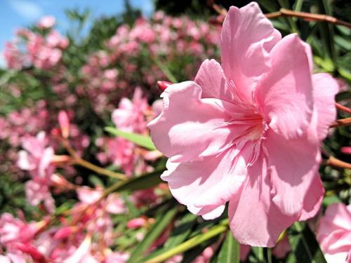 Олеандр (лат. Nerium) (англ. Oleander )