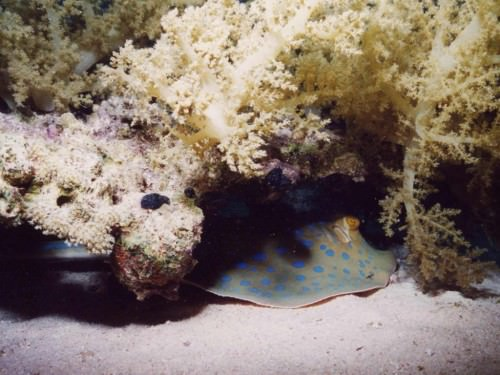 Пятнистый рифовый скат (лат. Taeniura lymma) (англ. Bluespotted ribbontail ray)