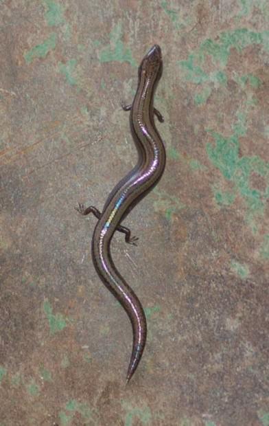 Желтобрюхий трехпалый сцинк (лат. Saiphos equalis) (англ. Yellow-bellied three-toed skink)