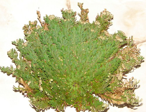Селагинелла чешуелистная (лат. Selaginella lepidophylla) (англ. False Rose of Jericho)