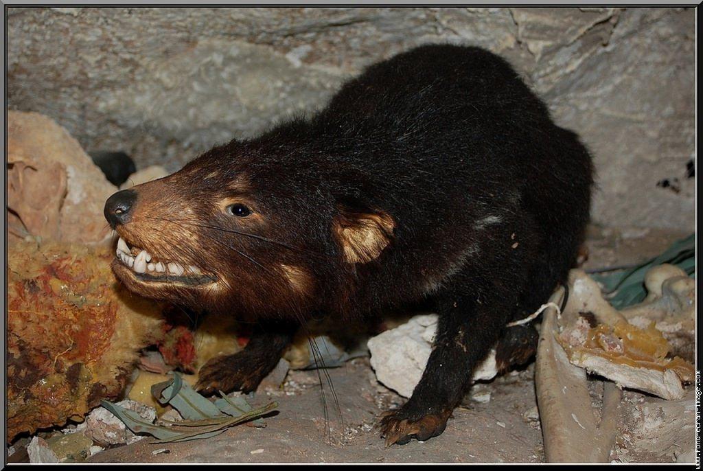 Тасманийский дьявол или сумчатый черт