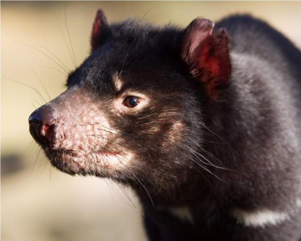 Тасманийский дьявол или сумчатый черт (лат. Sarcophilus laniarius) (англ. Tasmanian Devil)
