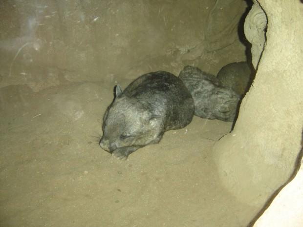 Вомбаты (лат. Vombatidae) (англ. Wombats)