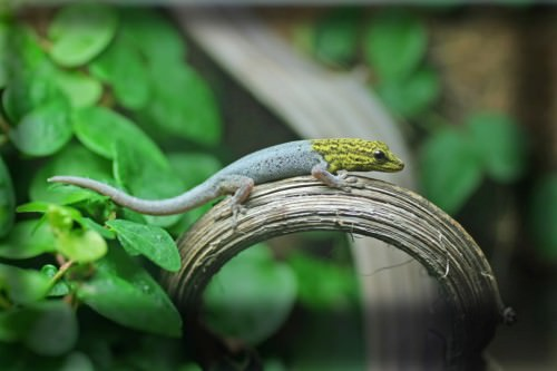 Желтоголовый карликовый геккон (лат. Lygodactylus luteopicturatus) (англ. Yellow-headed dwarf gecko or Dwarf yellow-headed gecko)