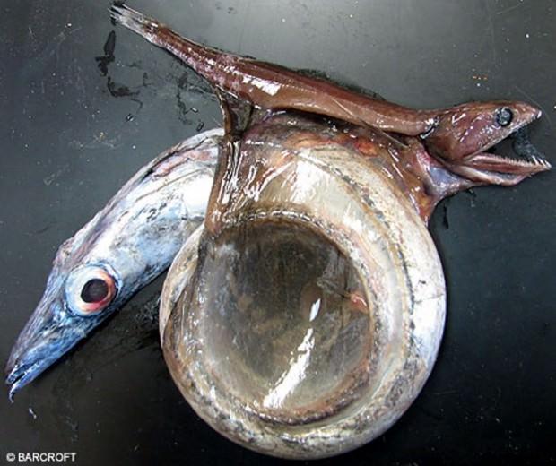 Черный живоглот или хиазмодон (лат. Chiasmodon niger) (англ. Black swallower)