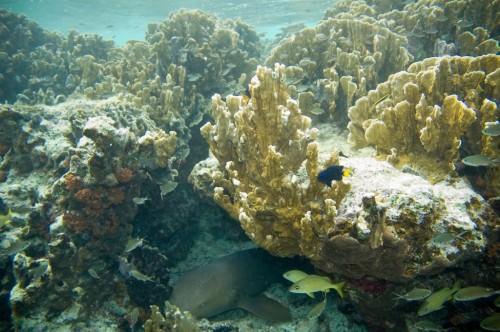 Усатая акула-нянька (лат. Ginglymostoma cirratum) (англ. Nurse shark)