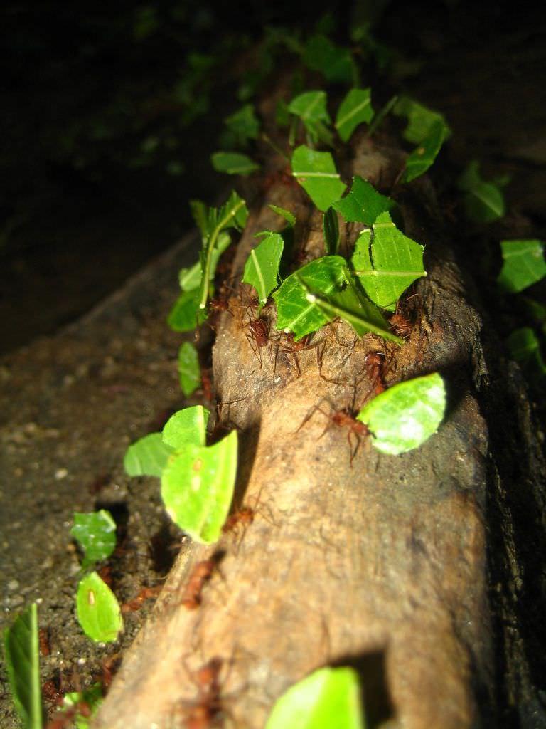 Картинки по запросу муравьи листорезы