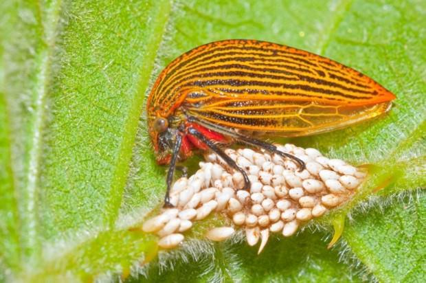 Горбатки (лат. Membracidae) (англ. Treehopper)
