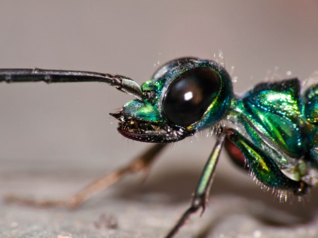 Изумрудная тараканья оса (лат. Ampulex compressa) (англ. Emerald Cockroach wasp or Jewel wasp)