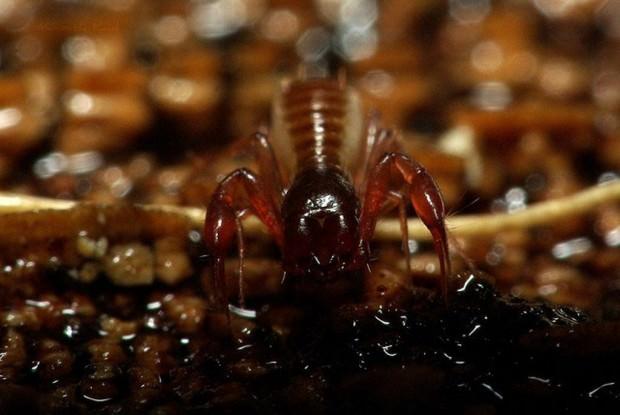 Ложноскорпионы (лат. Pseudoscorpionida) (англ. Pseudoscorpion)