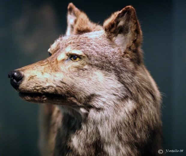 Ньюфаундлендский волк -вымерщий подвид серого волка