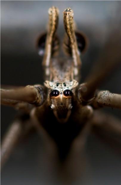 Паук-гладиатор Deinopis subrufa (лат. Deinopis subrufa) (англ. Rufous Net-casting Spider)