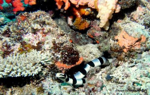 Желтогубый плоскохвост (лат. Laticauda colubrina) (англ. Yellow-Lipped Sea Krait)