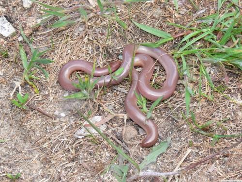 Червеобразная слепозмейка (лат. Typhlops vermicularis) (англ. Worm snake)