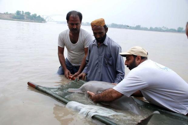 Гангский дельфин или сусук (лат. Platanista gangetica) (англ. Ganges river dolphin or Shushuk)