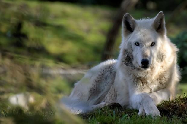 Обыкновенный волк (лат. Canis lupus) (англ. Grey wolf)