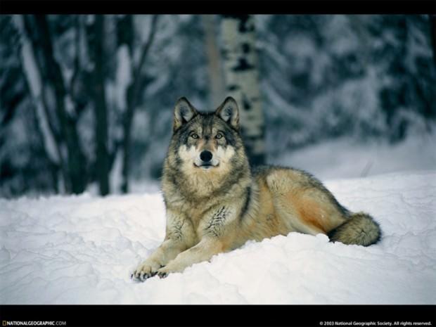 Волк - это, в первую очередь, высший символ свободы в