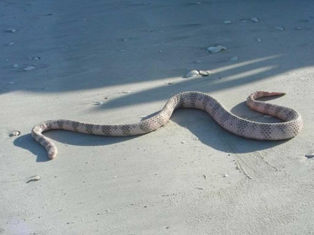Морская змея дюбуа лат aipysurus duboisii