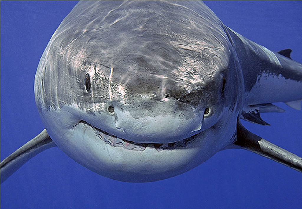 Фото самой большой белой акулы