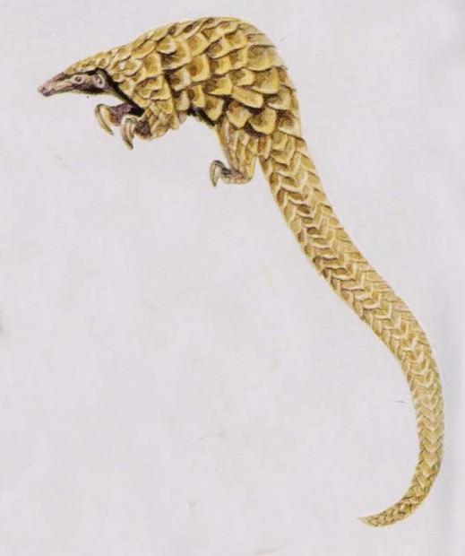 Длиннохвостый ящер (Uromanis tetradactyla)