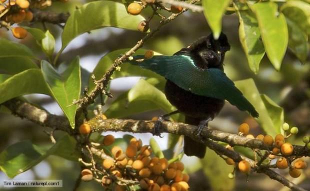 Род Шилоклювые райские птицы (Epimachus Cuvier, 1816) - 2 вида.