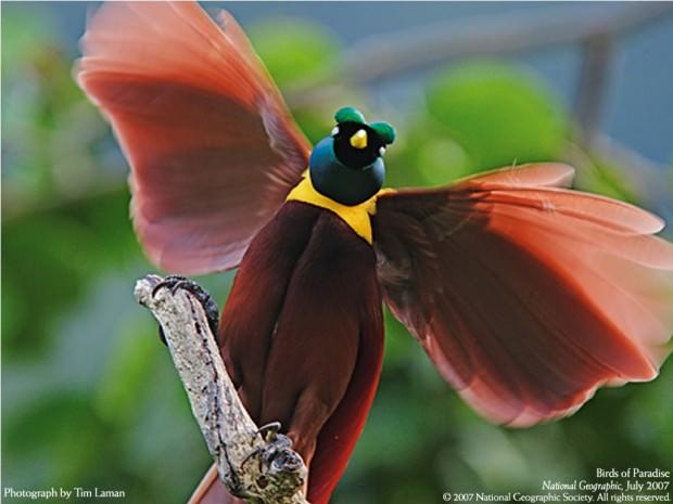 """Большинство райских птиц  """"танцуют """" на деревьях, но есть и такие, что устраивают настоящие"""
