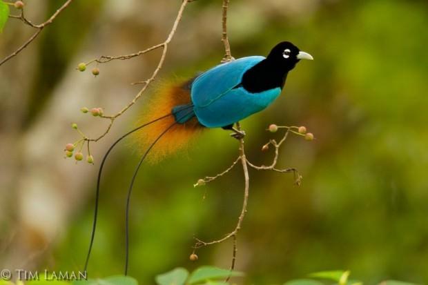 http://ianimal.ru/wp-content/uploads/2011/04/Blue-Bird-of-Paradise-Paradisaea-rudolphi-620x413.jpg