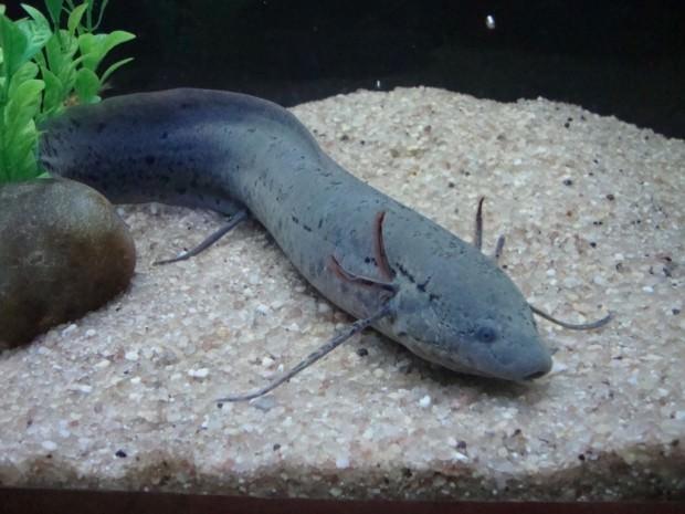 Большой протоптер (Protopterus aethiopicus)