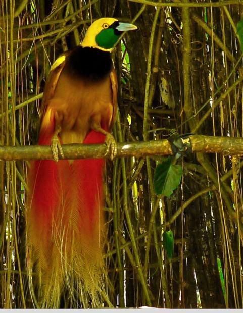 Райские птицы (лат.  Paradisaeidae)