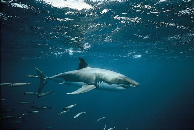 У белой акулы большая голова конической формы.