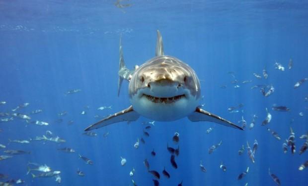 Great white shark).  Подробнее о большой белой акуле (лат.
