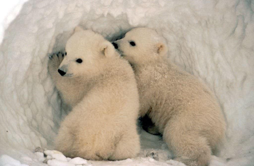 белых медведей с медвежатами