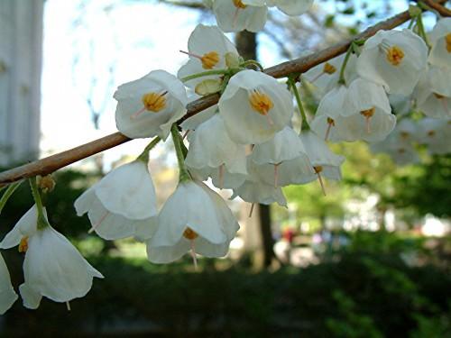 Ландышевое дерево или халезия  (лат. Halesia) (англ. Snowdrop Tree)